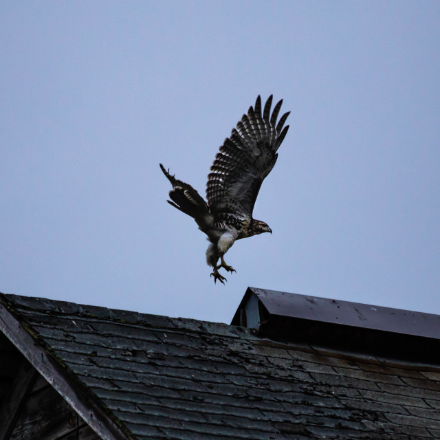 """Hawk taking flight from the roof of a barn with wings straight up"" stock image"
