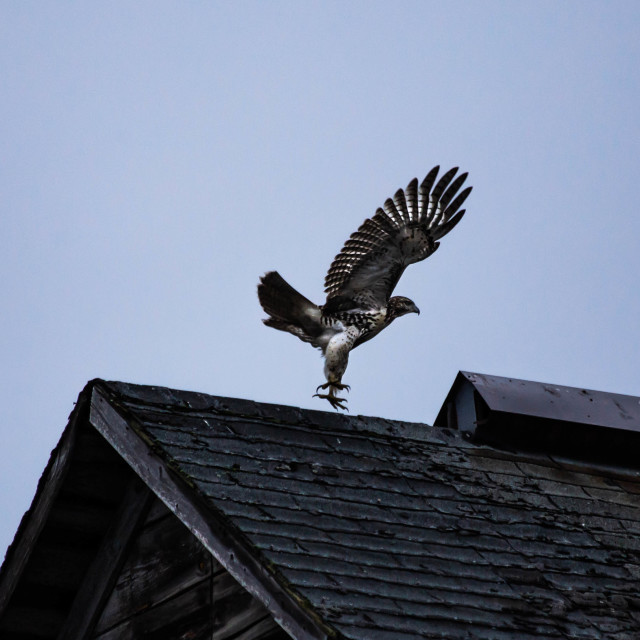 """Red tailed hawk soaring off a barn roof"" stock image"