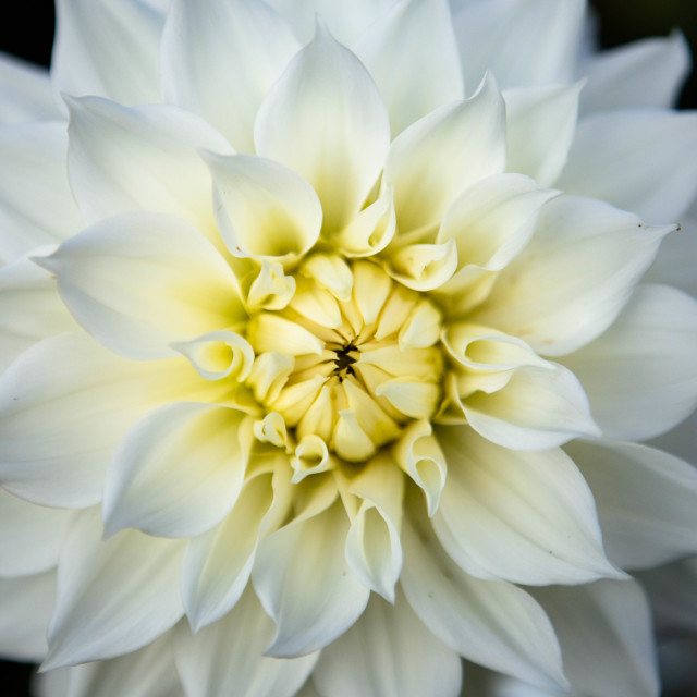 """White Dahlia Flower"" stock image"