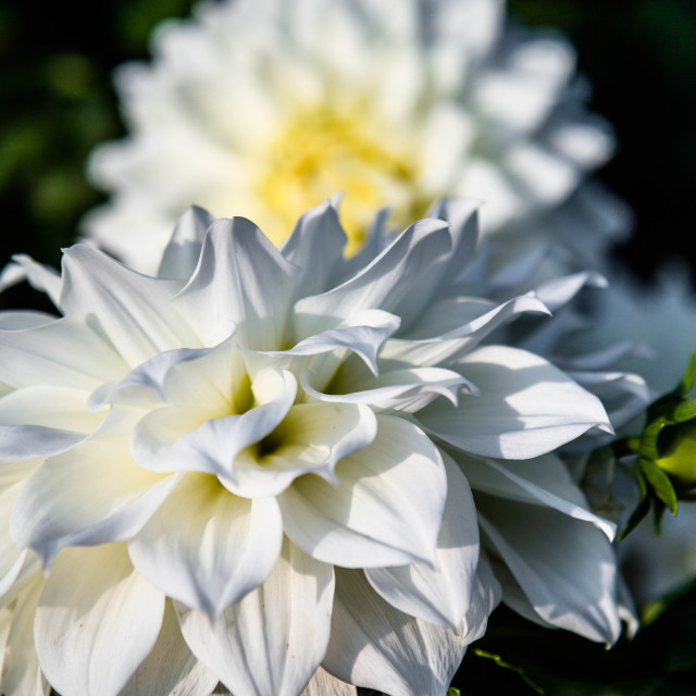 """White dahlia flowers in a summer garden"" stock image"