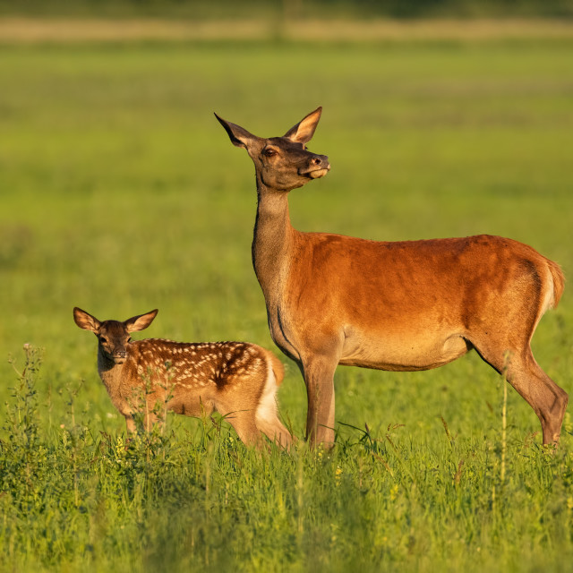 """""""Red deer hind with calf walking at sunset."""" stock image"""