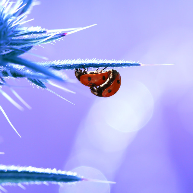 """Little red ladybugs during reproduction"" stock image"