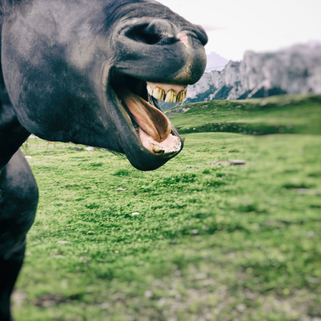 """""""A Black Stallion Showing His Teeth"""" stock image"""