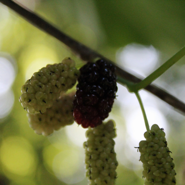 """""""purple and green mulberries"""" stock image"""
