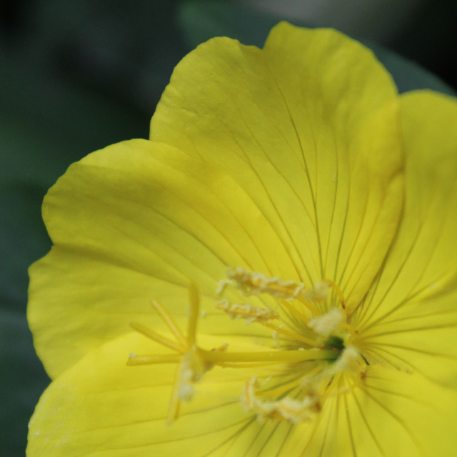 """""""yellow flower close up"""" stock image"""