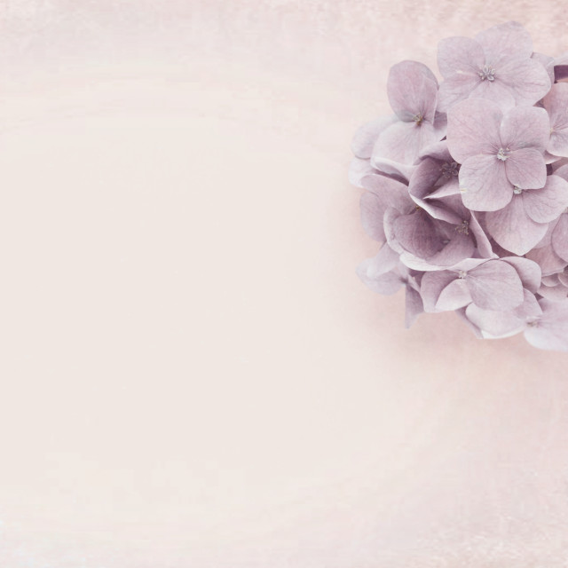 """hydrangeas blossom still life backdrop - top view"" stock image"