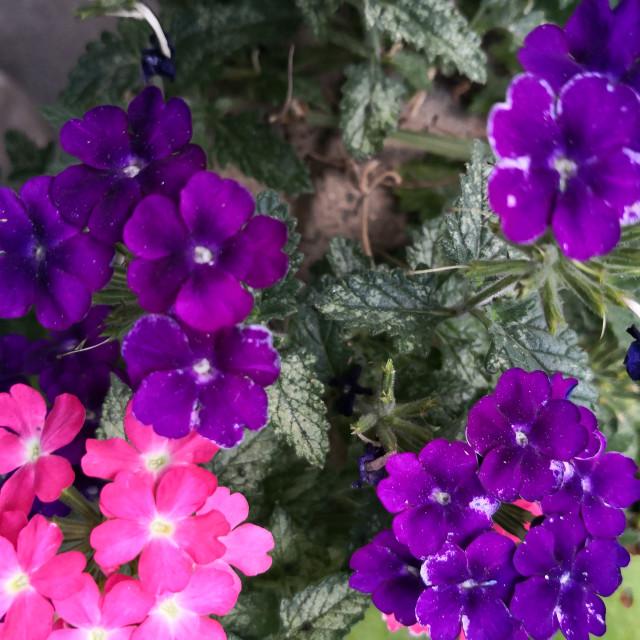 """""""Garden Verbana"""" stock image"""