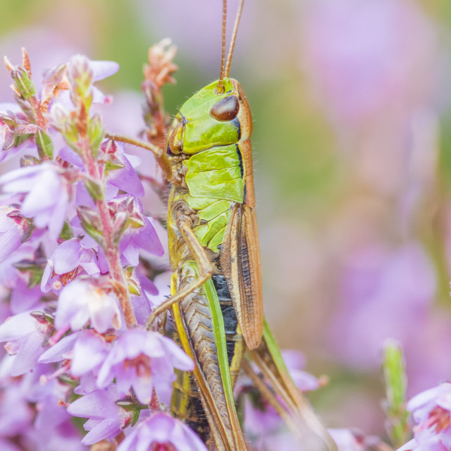 """Close up of Meadow Grasshopper in Heather"" stock image"