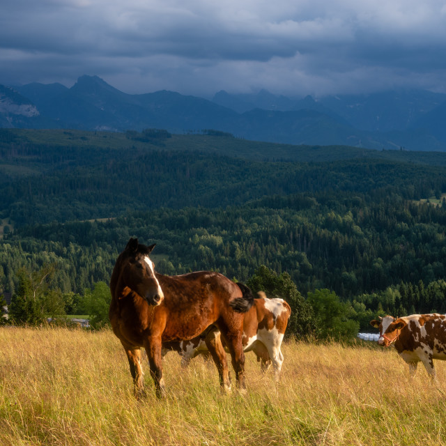 """old, worn-out horse grazing on a mountain pasture with cows"" stock image"