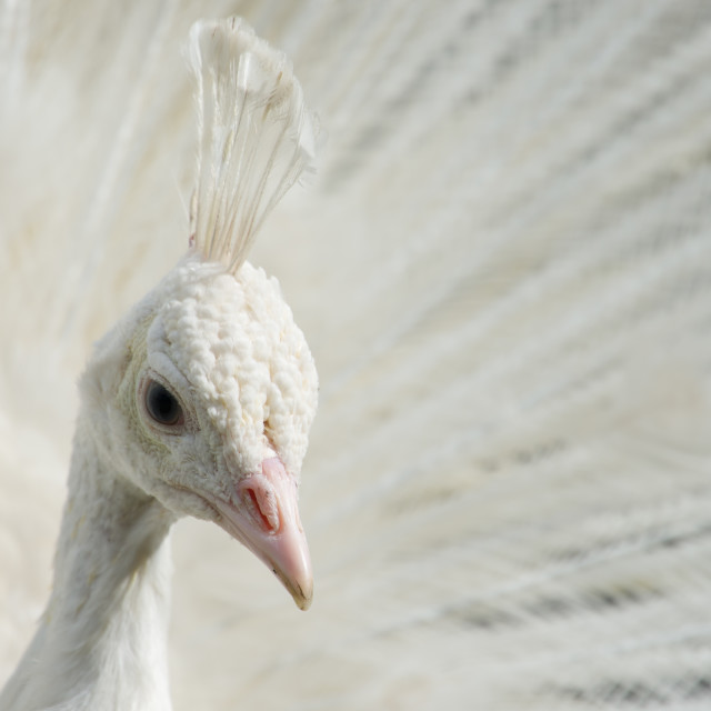 """White peacock with open feathers"" stock image"