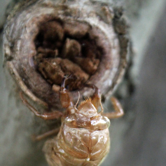 """cicada shell"" stock image"