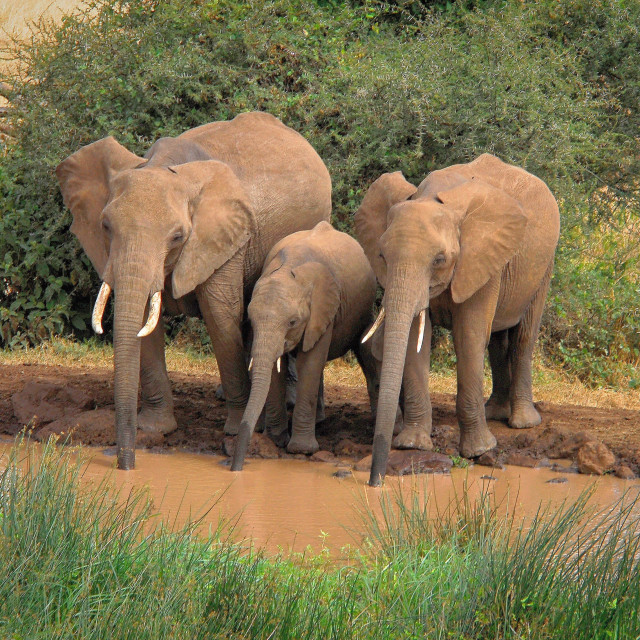 """Three Elephants at a Watering Hole"" stock image"