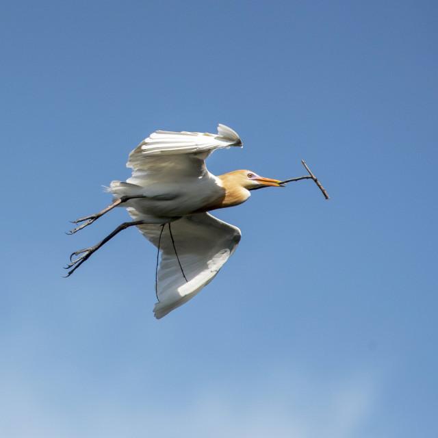 """Cattle Egret Nest Making Time"" stock image"