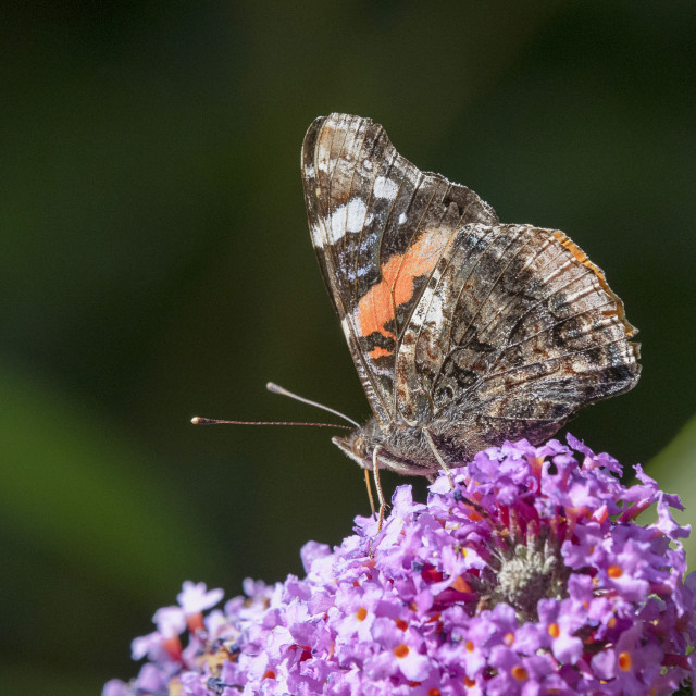 """""""Red Admiral on Buddleia"""" stock image"""