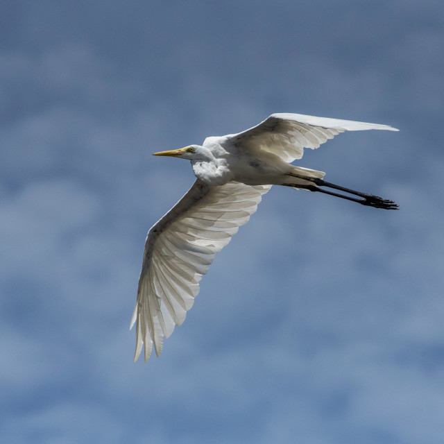 """""""A Great White Egret in Flight"""" stock image"""
