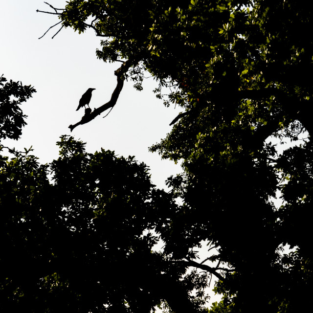 """Silhouette of a Crow in a tree"" stock image"