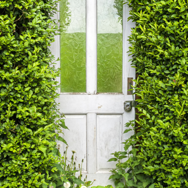 """A white door in an overgrown hedge leading to an allotment"" stock image"