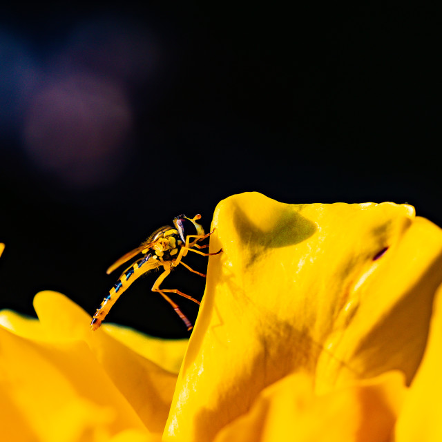 """""""Yellow Wasp on a Yellow Flower"""" stock image"""