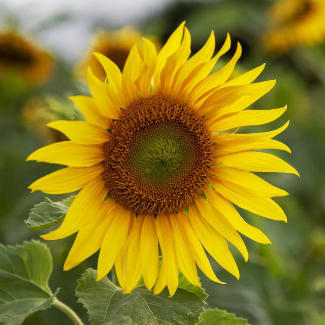 """Sunflower Alone"" stock image"