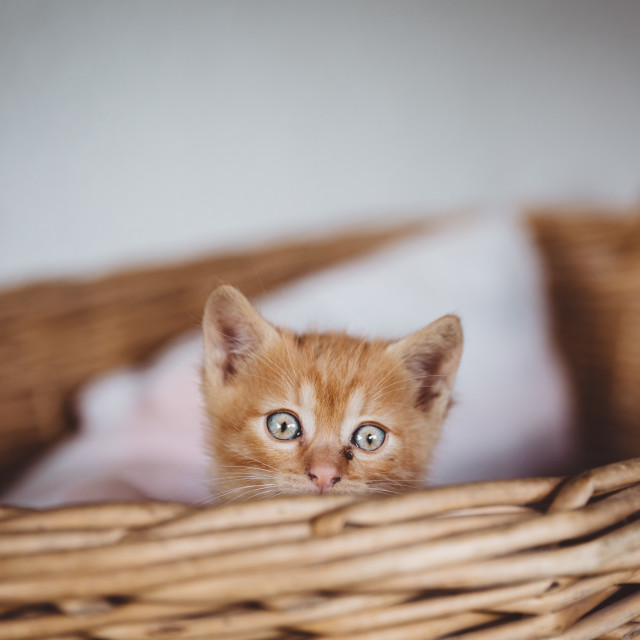 """Cute brown kitten with blue eyes looking over the edge of the creel"" stock image"
