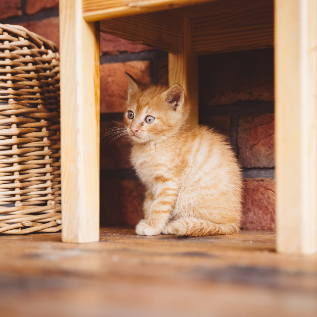 """Cute brown kitten under the wooden chair"" stock image"
