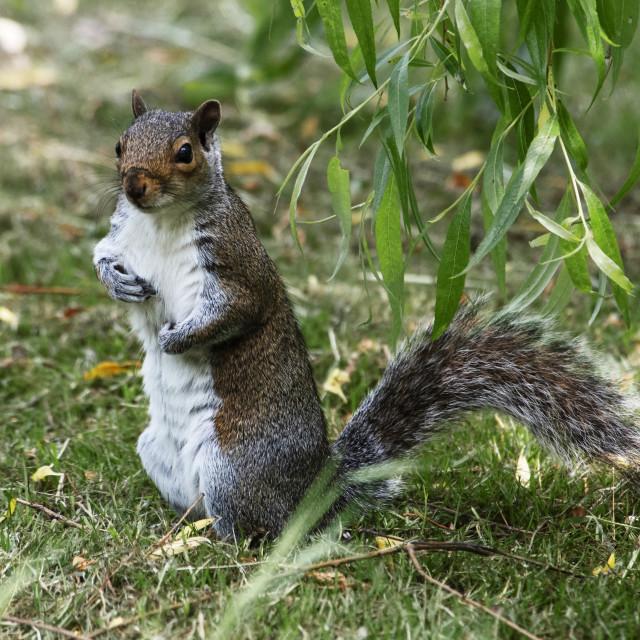 """Grey Squirrel Posing"" stock image"