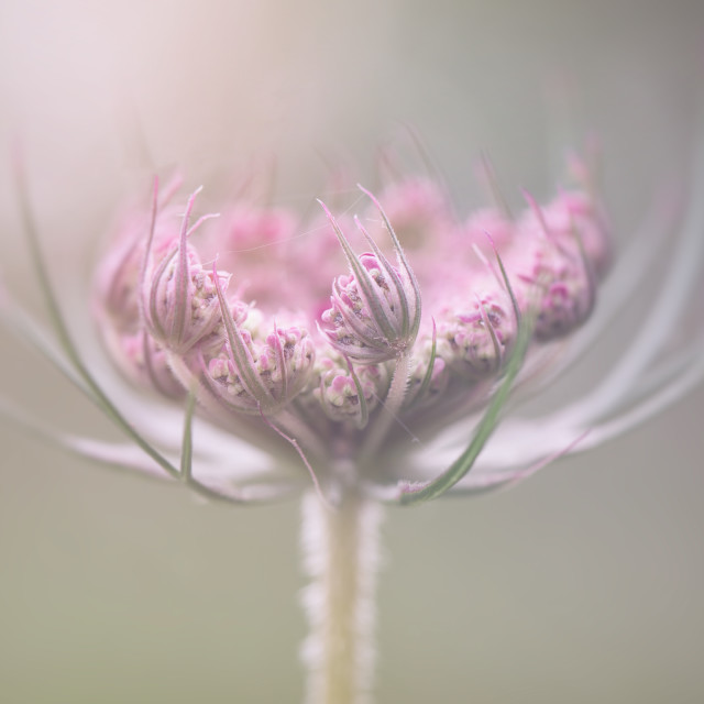 """""""queen annes lace"""" stock image"""