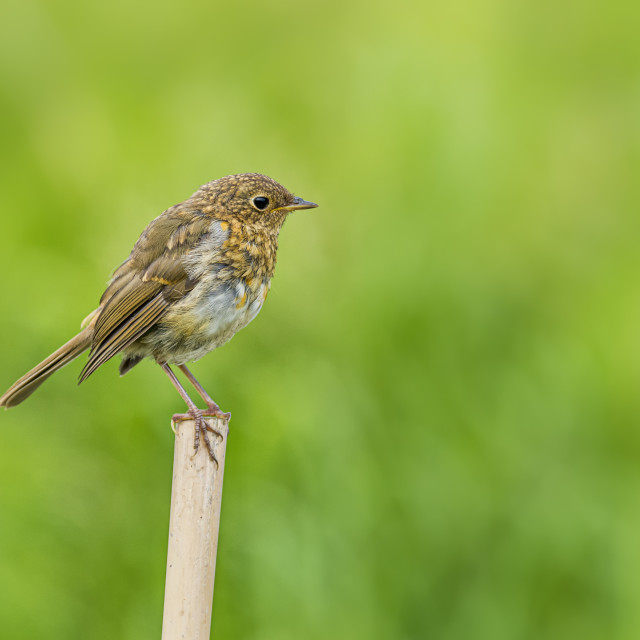 """Young Robin on a post"" stock image"