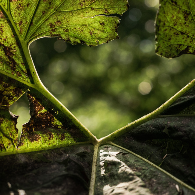 """A Butterbur leaf in the sun"" stock image"