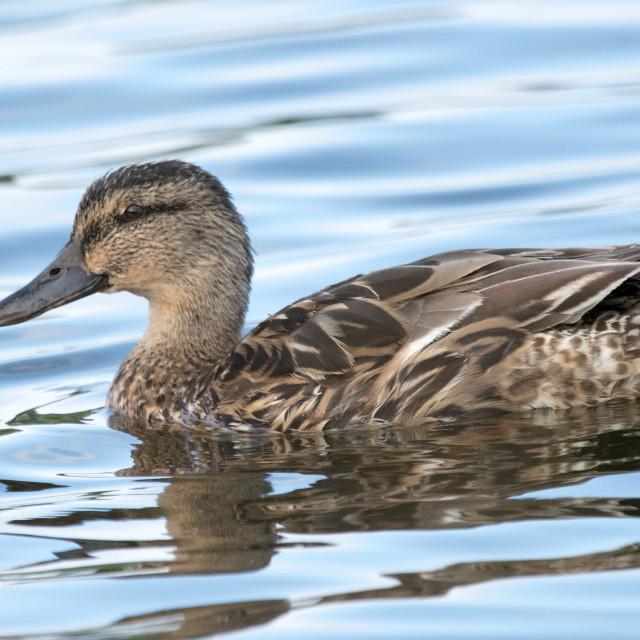 """Female Mallard ducFemale Mallard duck (Anas platyrhynchos)k (Anas platyrhynchos)"" stock image"