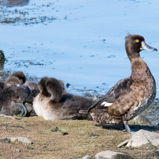 """Female Tufted duck and ducklings (Aythya fuligula)"" stock image"