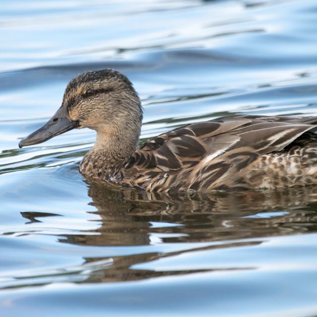 """Female Mallard duck (Anas platyrhynchos)"" stock image"