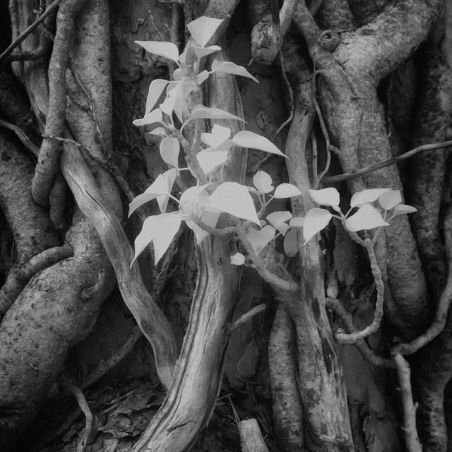 """Ivy"" stock image"