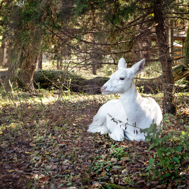 """Albino Deer looking away while sitting at forest"" stock image"