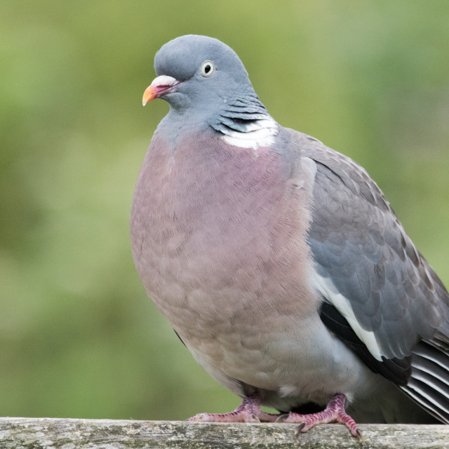 """Wood pigeon (Columba palumbus)"" stock image"