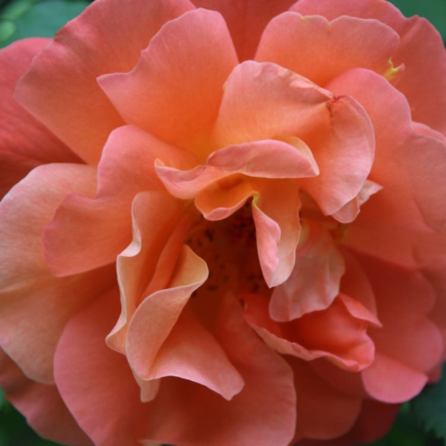 """""""Pink rosy flower"""" stock image"""