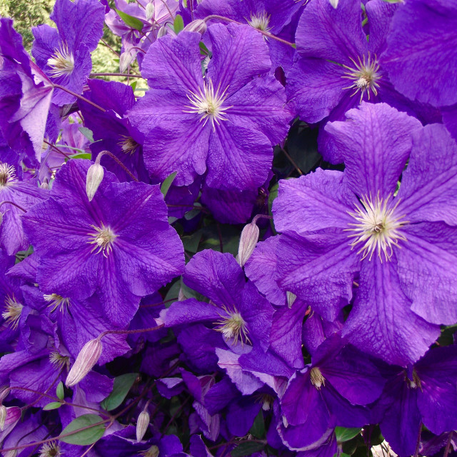 """""""Bunch of violet flowers"""" stock image"""