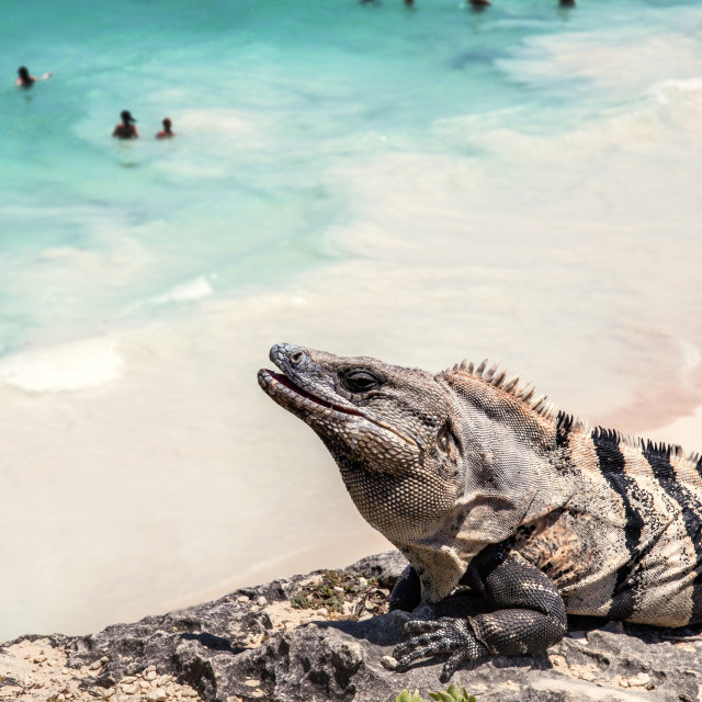 """""""High angle view of Iguana on rock against beach during sunny day"""" stock image"""