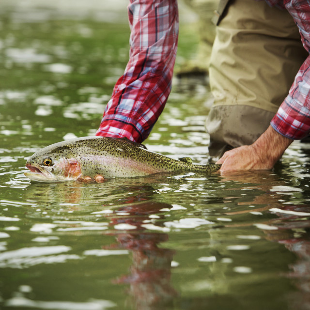 """""""Midsection of man holding Brown trout while bending at lake"""" stock image"""