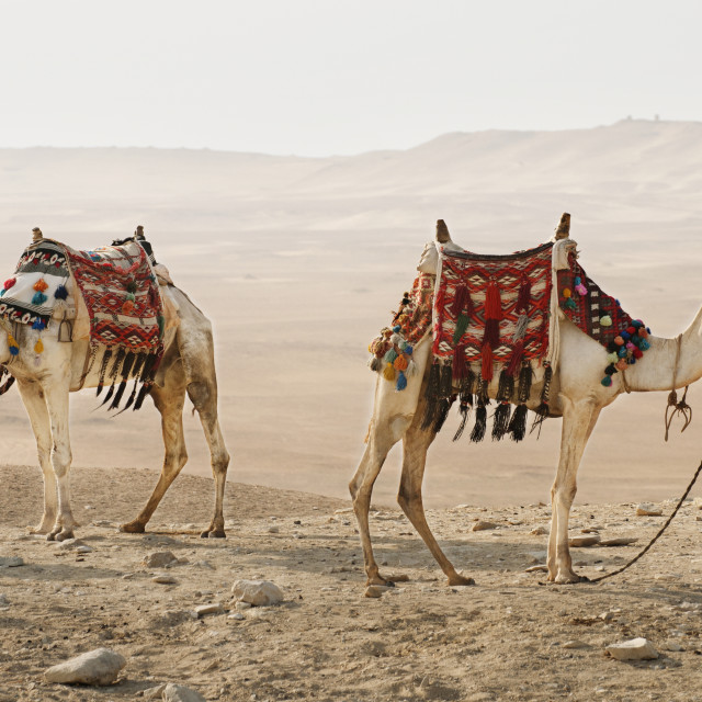 """""""Side view of camels standing on desert"""" stock image"""