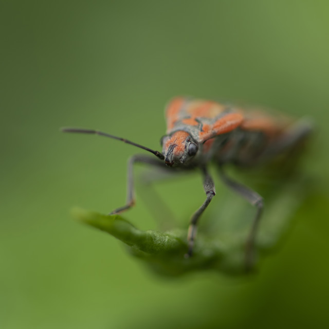 """Macro image of Spilostethus -A member of Seed Bugs Family Lygae"" stock image"