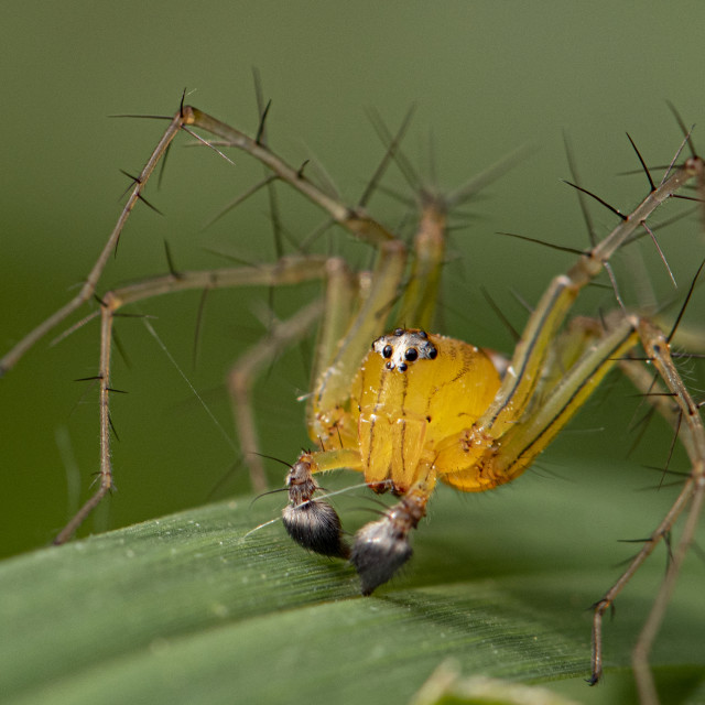 """Orange Lynx Spider"" stock image"