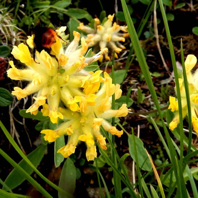 """""""wild alpine flowers"""" stock image"""