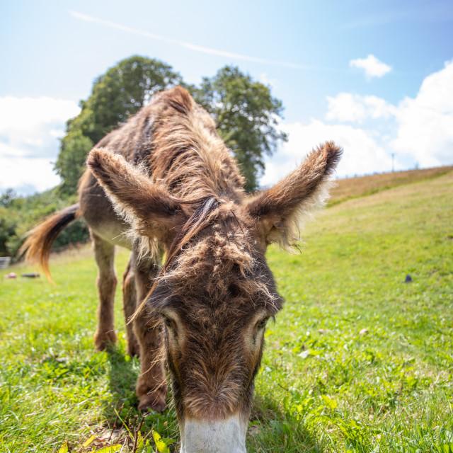"""Brown Donkey eating"" stock image"