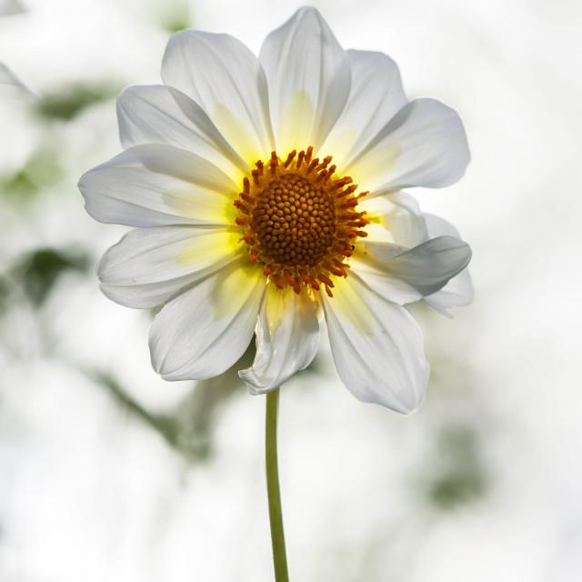 """A white daisy"" stock image"