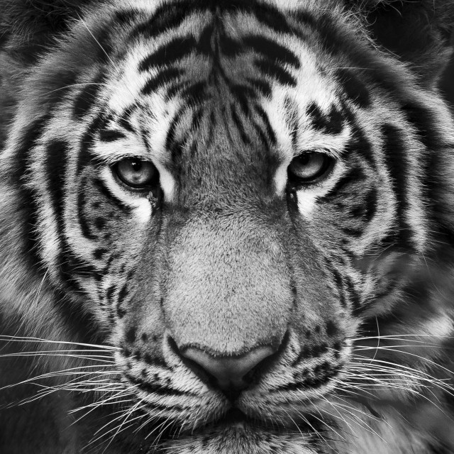 """Tiger face"" stock image"