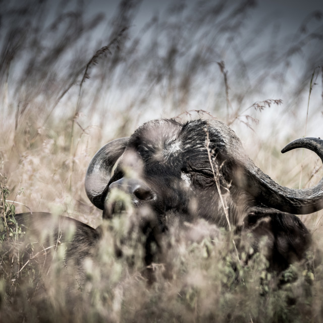 """A Buffalo"" stock image"