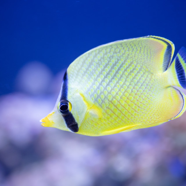 """Latticed Butterflyfish"" stock image"