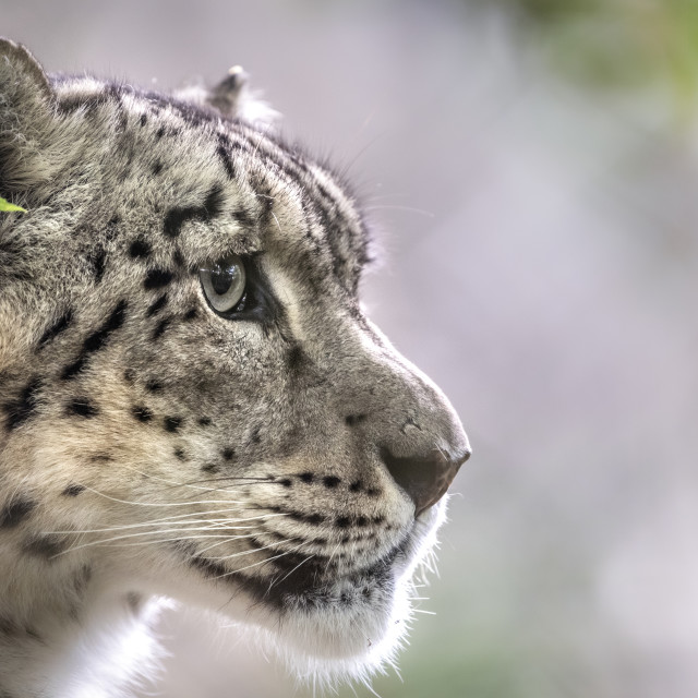 """Male snow leopard (profile)"" stock image"