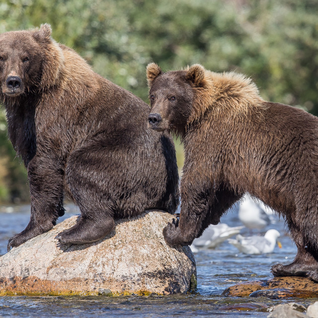 """""""Brown bear , grizzly"""" stock image"""